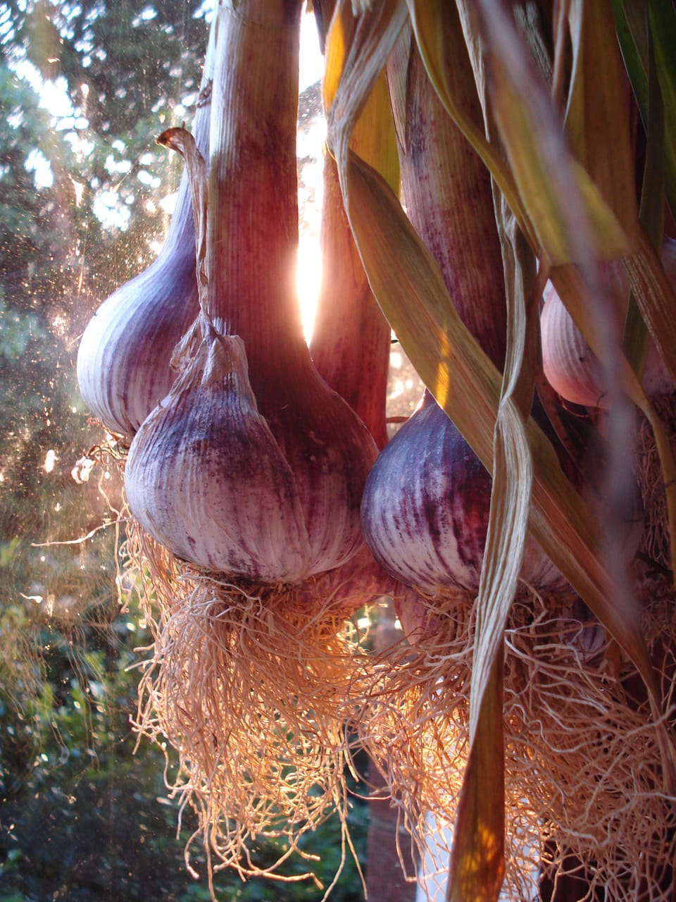 Australian Garlic- Purple Glamour